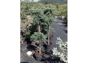 Juniperus horizontalis Blue Chip Bonsai