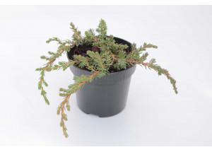 Juniperus horizontalis Conferta