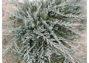 Juniperus horizontalis Glacier