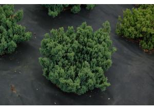 Juniperus horizontalis Grey Pearl