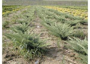 Juniperus horizontalis Hughes