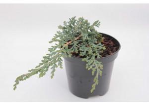 Juniperus horizontalis Ice Blue