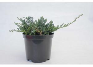 Juniperus horizontalis Wiltoni
