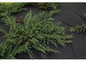 Juniperus horizontalis Yukon Belle