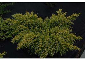Juniperus pficeriana Mordigan Gold