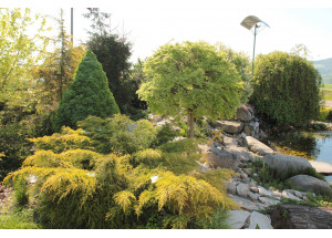 Juniperus pfizeriana Gold Star