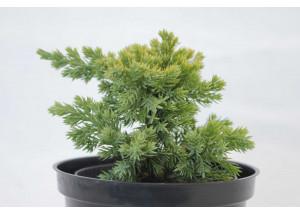 Juniperus procumbens Kishiogima
