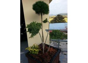 Juniperus procumbens Nana Bonsai
