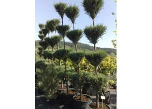 Juniperus scopulorum Blue Arow Bonsai