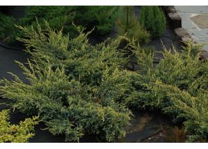 Juniperus sguamata Holger