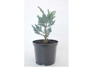 Juniperus sguamata Mayeri