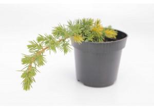 Juniperus sorty