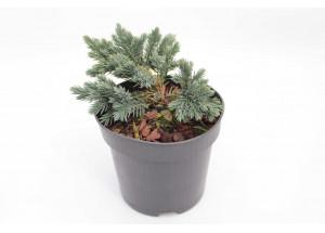 Juniperus sguamata Blue Star