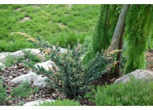 Juniperus squamata Expansa Variegata
