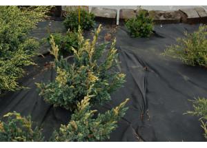Juniperus squamata Gold Flame