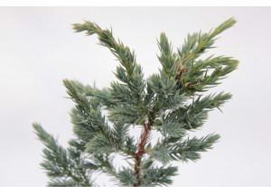 Juniperus squamata Mayeri