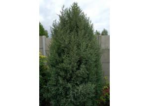 Juniperus virigiana Burkii