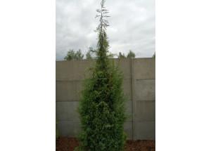 Juniperus virigiana Pendula