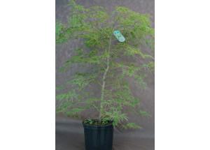 Acer palmatum Disectrum