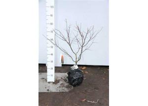 Acer palmatum Tsumabeni
