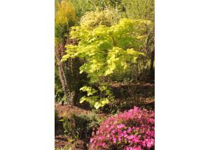 Acer palmatum yukushimanum Aureum