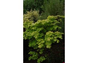 Acer shirasawansky Aureum