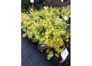 Acer shiraswanum Jordan