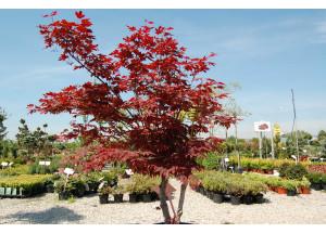 Acer palmatum Atropurpurea