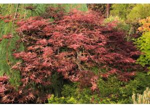 Acer palmatum Disectrum Garnet