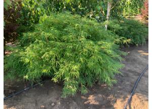Acer palmatum Dissectum Viridis