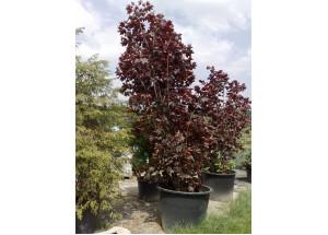 Acer palmatum Royal red