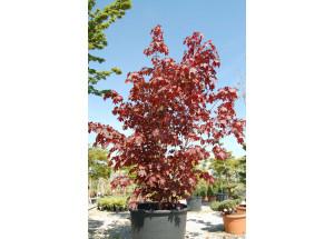 Acer palmatum Rubrum