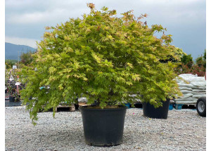 Acer palmatum Seiryu