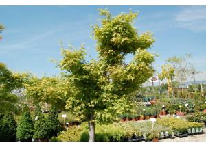 Acer palmatum Seyru