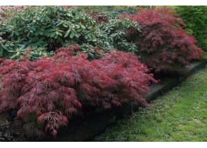 Acer palmatum sorty