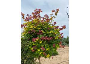 Acer platanoides Globozum