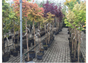 Acer platanoides sorty