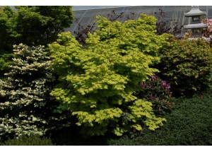 Acer shirashawanum Aureum