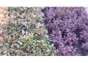 Astilbe hybrids Sugarberry