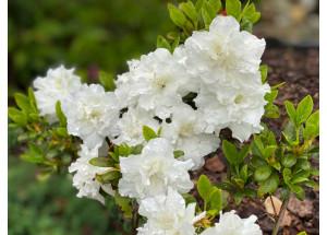 Azalea japonica Schneperle