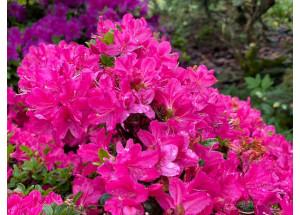 Azalea japonica Rose
