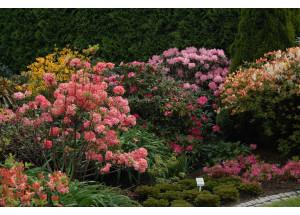 Azalea Rhododendron sorty