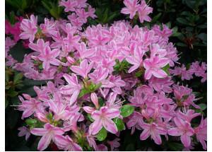 Azalea japonica Kermesina Rose