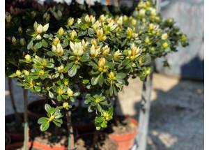 Azalka japonica Pleasant White