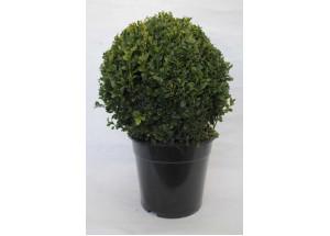 Buxus sempervirens Globosa