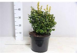 Buxus sempervirens Argenteovariegata