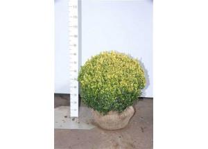 Buxus sempervirens Gold-Tip