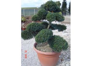 Buxus sempervirens Bonsai
