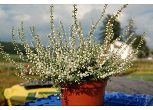 Calluna vulgaris Alba plena
