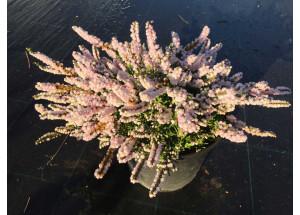 Calluna vulgaris County Wickow